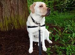 Gracie keeping an eye on me (walneylad) Tags: gracie dog canine pet puppy lab labrador labradorretriever cute may spring