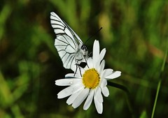 Baum-Weißling (Hugo von Schreck) Tags: baumweisling aporiacrataegi macro makro schmetterling butterfly insect insekt hugovonschreck falter canoneos5dsr tamron28300mmf3563divcpzda010 fantasticnature onlythebestofnature