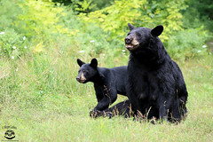 Family (Megan Lorenz) Tags: blackbear bear bearcub sow female animal mammal nature wildlife wild wildanimals ontario canada mlorenz meganlorenz