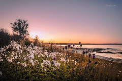 By The Ocean (Fredrik Lindedal) Tags: ocean beach tree flowers flower sun sunlight sunset glow colors colorful harmony calmness mindfulness gotland sverige sweden visitsweden visitgotland