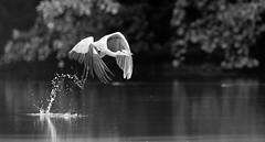 Ardea cinerea II. (Jan Kornan) Tags: lake water bird black wgite nikon fly germany wildlife slovakia flying wimberley deutschland d3s ardea cinerea slovensko slovkia gitzo nemecko adelberg 6004vr 5541ls wh200ii volavka popolava