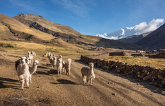 Cute Flock (pietkagab) Tags: alpacas alpaca crowd bunch flock road path village countryside mountains andes peru slopes morning early light blue sky pietkagab photography pentax piotrgaborek pentaxk5ii travel trip tourism trekking trek hike holidays sightseeing adventure