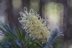 Grevillea (OzzRod) Tags: sony nex5t meyeroptikgörlitztrioplan100mmf28 plant flower grevillea closeup