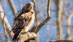 Red Tailed Hawk (pasquadaniel) Tags: birdsofprey raptors hawks animals wings feathers talons