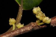Litsea leefeana (andreas lambrianides) Tags: litsealeefeana lauraceae cylicodaphneleefeana brownbollygum australianflora australiannativeplants australianrainforests australianrainforestplants arfp qrfp petiolekf arfflowers creamarfflowers
