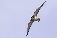 Hobby (falco subbuteo) (PINNACLE PHOTO) Tags: falcosubbuteo falcon flying hobby hunting dragons dragonfly eating fast reallyfast raptor avian bird birdofprey eurasian feathers flight heathland inflight low migratory martinbillard canon 7dii canon500mmf4 handheld
