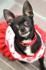 photography canon dog dogs shelterdogs shelteranimals shelterpets chihuahua animals animal pet pets