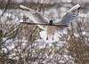 Hettemåke - Chroicocephalus ridibundus - Black-headed Gull - D8F_1805 (Viggo Johansen) Tags: hettemåke chroicocephalusridibundus blackheadedgull birds water lake stavanger nesting