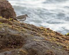 Spotted Sandpiper (jimbobphoto) Tags: bird sandpiper hunt ocean parade lajolla scripts rocks