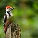Middle-Spotted Woodpecker (Dendrocopus medius), Forêt de Soignes, Brussels