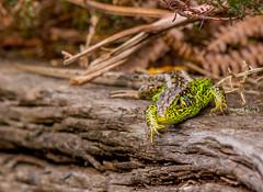 Sand Lizard (Peter Quinn1) Tags: sandlizard dorset heathland reptile arne rspb arnenaturereserve lizard malesandlizard basking spring