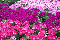 Think Pink (mazzmn) Tags: flowers pink purple pansies greenhouse spring bright colorful many wallpaper