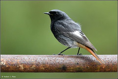 N° 754 / Rougequeue noir ( Phoenicurus ochruros ) (norbert lefevre) Tags: oiseau passereau plumage rougequeuenoir nikon d500 300mmf4