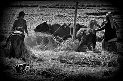 NEPAL, Auf dem Weg nach Pokhara, Bauern bei der Ernte (serie ) , 16052/8313 (roba66) Tags: reisen travel explore voyages roba66 visit urlaub nepal asien asia südasien pokhara landschaft landscape paisaje nature natur naturalezza rural ernte farmer bauern dreschen blackwhite bw sw branco negro blackandwhite blancoenero blancoynegro monochrome byn bretoebranco einfarbig schwarzweis