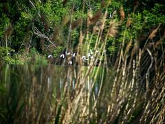 Segundo plano 3 (Luicabe) Tags: agua airelibre árbol ave bandada cabello carrizo duero enazamorado exterior garza luicabe luis naturaleza ngc planta remanso río yarat1 zoom