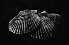 Scallops (Marcelo Garcia Ferreyra) Tags: scallops vieira molusc molusco food comida nikon d7000 white black bnw studio silver efex pro sep tamrom 18200 low key blackandwhite blackwhite contrast