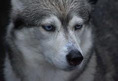 Wet Husky (swong95765) Tags: wet dog canine animal pet husky blueeyed watching focused cute eyes