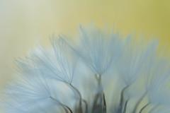 make a wish (retniwave) Tags: macro makro dandelion löwenzahn wish deseo pusteblume primavera spring frühling d7200 nikkor 60mm dof golden oro amarillo yellow naturaleza nature flower flor balearicislands sadragonera spain españa