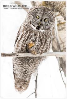 Great Grey Owl 021817-8591-W.jpg