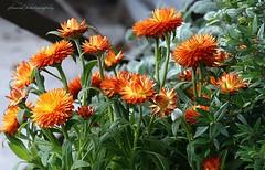 Amalfi coast spring flowers (jackfre 2) Tags: italy amelficoast sorrento amalfi positano flowers post planters urn