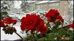 Mannedorf, Switzerland....🇨🇭 (Shobana Shanthakumar) Tags: männedorf männedorfgemeinde zurichlake zurichsee zurich zurichsea zurichcity zürich zürichsee switzerland swiss swisspeople swisswhether swissbeauty swissnature nature whether google youtube flower flowergardenbloomingflowers flowergardens autumnflowers flowers amazingflowers seasonflowers swissflowers winter snow snowfall schweiz suisse