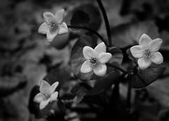Buttercups (mswan777) Tags: monochrome buttercup flower wildflower hiking woods flora spring nature outdoor michigan bridgman nikon d5100 sigma 70300mm white black closeup detail texture petal leaf