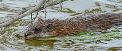 Muskrat at Hillman Marsh (Summerside90) Tags: rodent may spring vegetation nature wildlife hillmanmarsh ontario canada muskrat