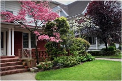 """""""Pretty in Pink..."""" (Alexxir) Tags: ditmas park spring 2017 cherry blossom sakura festival nyc matsuri brooklyn new york city flowers red yellow bloom blooming magnolia magnolias pink trees streets white bushes rose dandelions alleys perspectives birds victorian houses homes vintage flower vase vases cosy quiet peaceful serene relaxing dreamy desolate contrast garden vegetation colors colorful color explosion beautiful beauty incredible mesmerizing enveloping snow buds untouched nature mother pavement sidewalk doors entrance bedroom sleeping sleepy sunny bright heart"""