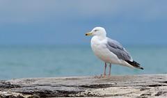 Peaceful Gull (imageClear) Tags: bird gull nature shorebird color northpoint beauty sheboygan wisconsin aperture nikon d500 80400mm imageclear flickr photostream