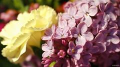 #photography #canon700d #istanbul #bahar #spring #flowers #flower #snapseed  #çiçek #colorofspring #colourful #hyacinth #sümbül #studiophotography (oppeslife) Tags: çiçek snapseed colourful flower photography hyacinth bahar studiophotography colorofspring spring canon700d sümbül istanbul flowers