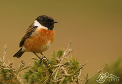 Stonechat (Male) (►►M J Turner Photography ◄◄) Tags: stonechat male malestonechat bird animal outdoor wildlife