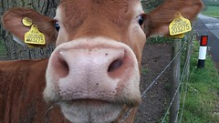 Inquistitiveness (timothyhart) Tags: cow field woldingham cattle livestock farm pasture paddock animal brown closeup countryside uk england moo inquisitive sniff