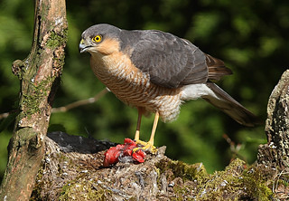 MALE SPARROWHAWK ....Mid Wales
