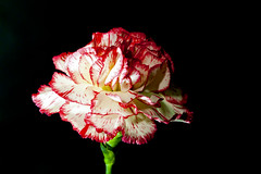 Carnation (~trigger_happy~) Tags: carnation canon macro 100mm black background lowkey redwhite flowers mothersday