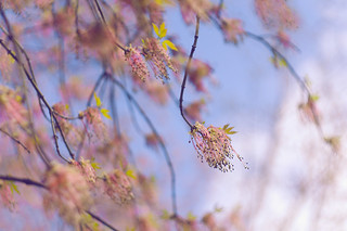 Sensitive April blossoms