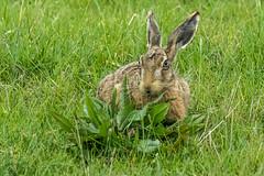 Brown Hare  (Explored) (colper) Tags: 100400 brownhare canon7dmk2 elmleynnr