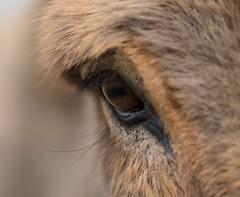 A Donkey´s Eye  HMM (VintageLensLover) Tags: hmm macromondays esel augen eye bokeh dof schärfentiefe olympus zuiko 75mm m43 omd donkey makroaufnahme makro macro explore explored