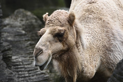 Dromedary Camel,One-humped Camel (單峰駱駝) (scv1_2001) Tags: nikon nikon70200mmvrii nikond750 taiwan taipeizoo 台北市立動物園