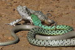 Spotted Bush Snake (Philothamnus semivariegatus) trying to eat a Foam Nest Frog (Chiromantis xerampelina).#herpkeepers #herpetology #snake http://pic.twitter.com/su0Q51orII — Herp Keepers (@HerpKeepers) May 9, 2017 (CutieLittleSnakey) Tags: spotted bush snake philothamnus semivariegatus trying eat foam nest frog chiromantis xerampelinaherpkeepers herpetology httppictwittercomsu0q51orii — herp keepers herpkeepers may 9 2017 0407pm 10 1101pm