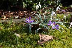 Spring @home (dididumm) Tags: spring flowers home garden snowdrops galanthusnivalis crocus violet purple crocuses croci sunshine sonnenschein krokus lila white weiss schneeglöckchen garten zuhause blumen frühling