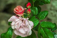 COLORI DELLE ROSE    ----    THE COLORS OF ROSES    ----    EXPLORE (cune1) Tags: italia italy canalemonterano macro fiori flowers rose roses colori colors natura nature