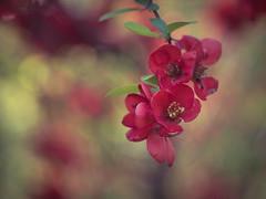 Quince (A_Peach) Tags: gx8 helios park spring availablelight flower nature plant plants bloom quince floweringquince quitte zierquitte blüte vintagelens manualfocus adaptedlens mft m43 lumix panasonic microfourthird micro43 apeach anjapietsch helios442 panasoniclumixgx8