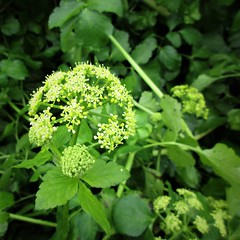 Alexanders (JulieK (thanks for 6 million views)) Tags: wildflower ireland irish wexford squareformat nature canonixus170 2017onephotoeachday green hggt flora
