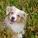 Smiling Laika in Grass | Pennsylvania, USA