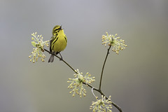 Prairie Warbler on Sassafras (www.studebakerstudio.com) Tags: prairie warbler sassafras studebaker bird nature animal songbird shawnee ohio singing song