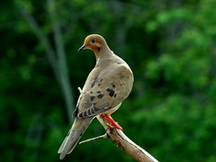 MOURNING DOVE. (JAMES F BURNS) Tags: mourningdove doves birdsoftheworld birdsofamerica jamesburns jamesfburns exam day 51017 posted 51117 dscf0147