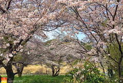 Cherry Orchard (Nualchemist) Tags: springimage forest spring seasonal nature cherryblossom daylight hamura cherryorchard tokyo sakura japan travelphotography pink sunny grasses yellow heavenly flowers landscape landscapephotography warm delightful rural peaceful fullbloom stream morning morninglight