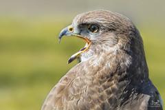 Show-off (Bram de Jong) Tags: buzzard buizerd birdofprey portrait animal bird nikon middachten falconry nature buteobuteo