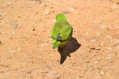 COTORRA ARGENTINA (Yeagov C) Tags: cotorraargentina ocell au cotorra 2017 barcelona catalunya