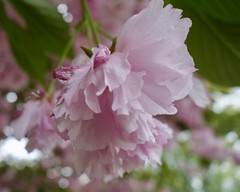 Cherry Blossom (Anne Marie Clarke) Tags: cherry blossoms bokeh pink bloom fluffy macro soft closeup wednesday 7dwf smileonsaturdays catchthebokeh